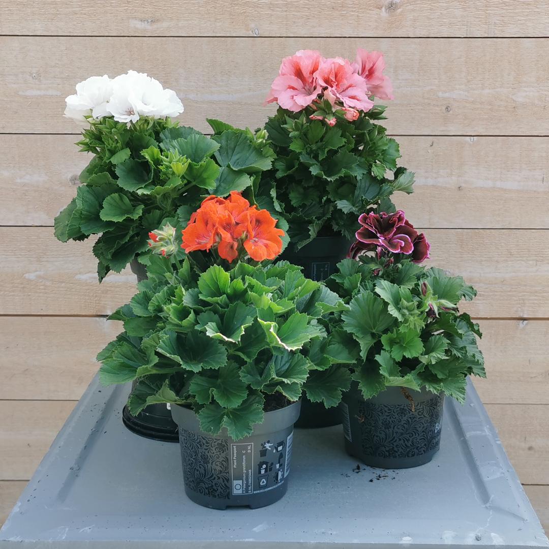 Franse geranium