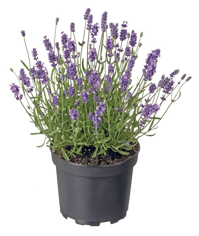 Lavendel groot