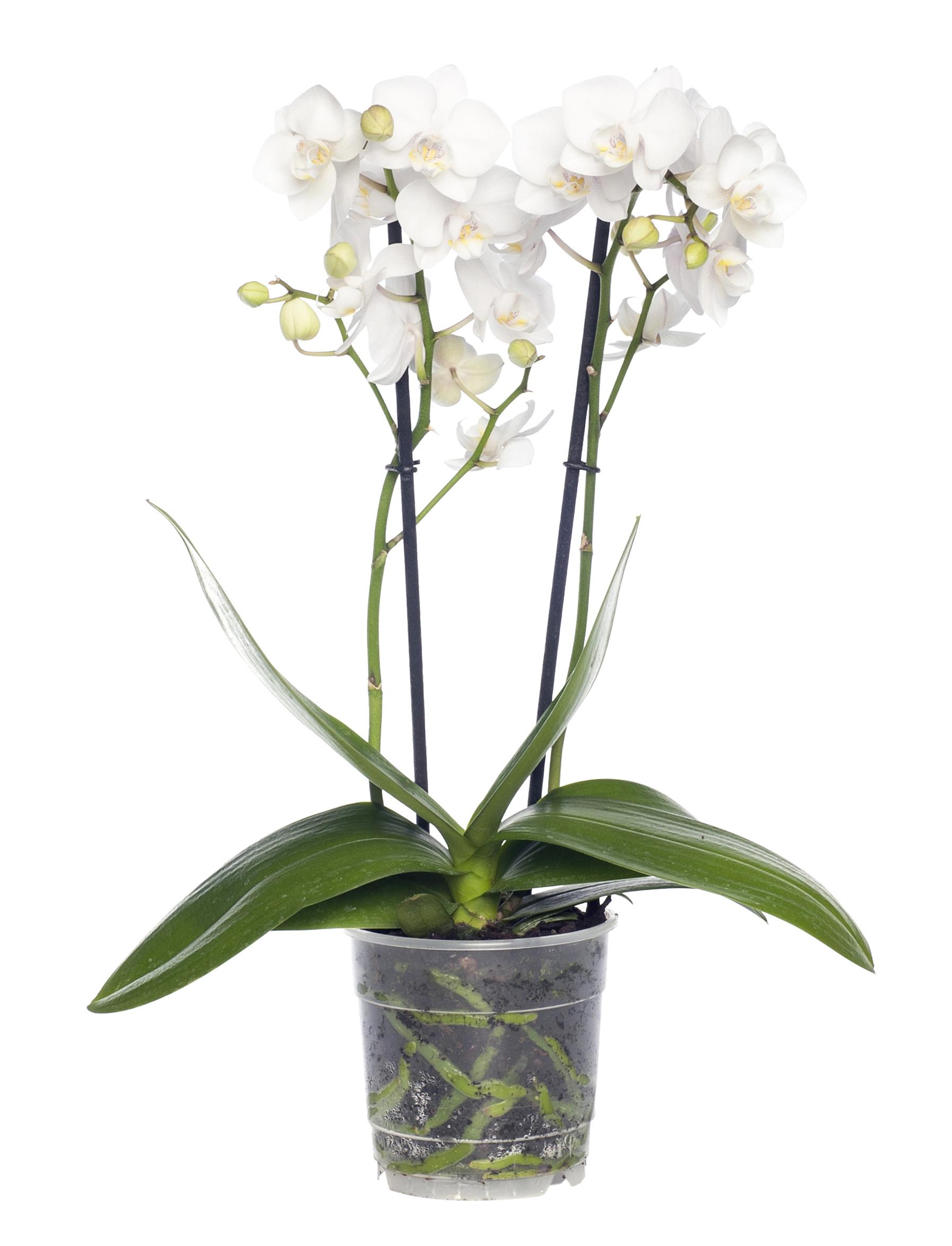 Phalaenopsis 2 tak