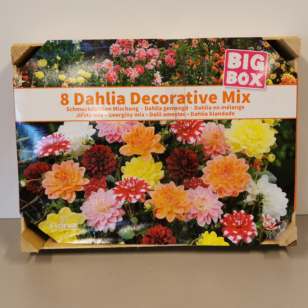Dahlia Decorative Mix