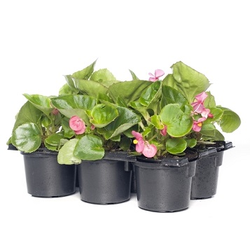 Begonia sixpack